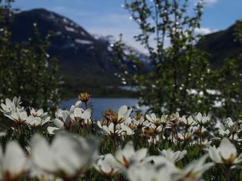 Reinrose på Tjønnen, Bøverdalen