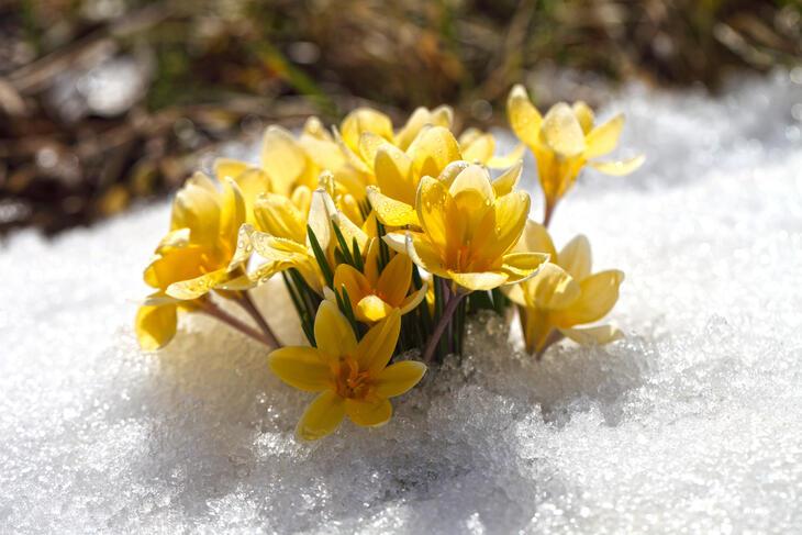 Gul vårblomst under snøen i typisk påskevær.